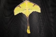 Argema mimosae