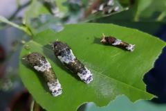 Papilio polytes, gąsienice na liściach cytryny