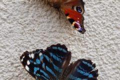 Rusałka pawik i Myscelia ethusa