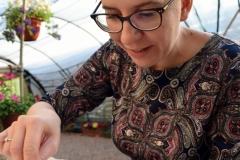 Alicja przymocowuje poczwarki