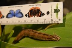 Gąsienica Caligo memnon z własnej hodowli