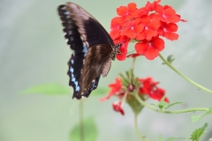 Papilio nireus, Afryka