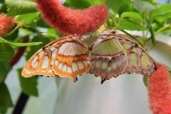 Siproeta stelenes, para w miłosnym uścisku