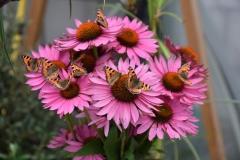 Rusałki pokrzywnik na kwiatach jeżówki